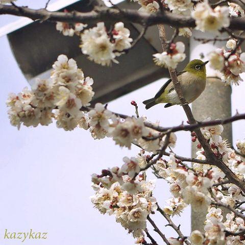 ウメジロ3.JPG