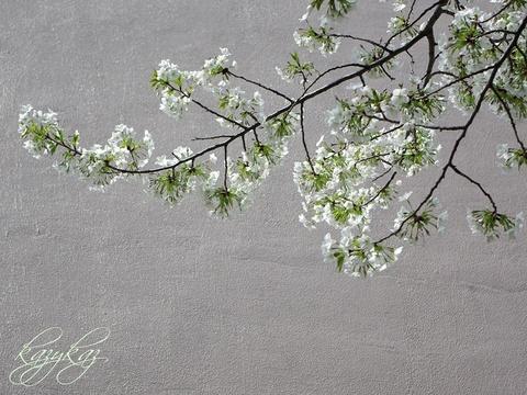 キャンバスに桜.JPG