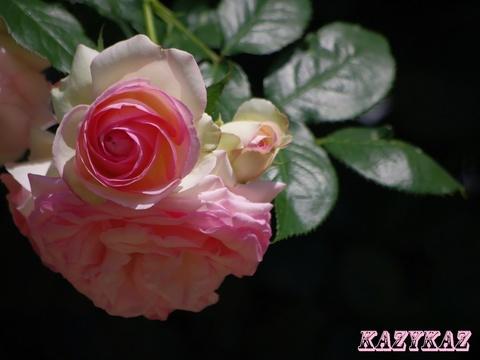 バラ5.JPG