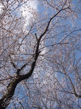 昇桜.JPG