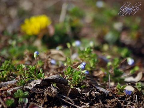 春も地から伸びる.JPG