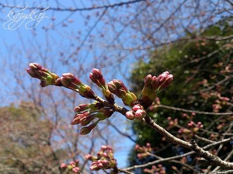 桜現状.jpg