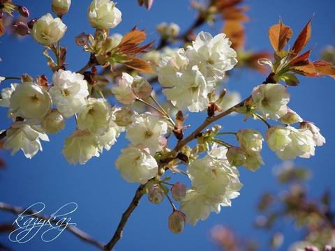 鬱金桜.JPG